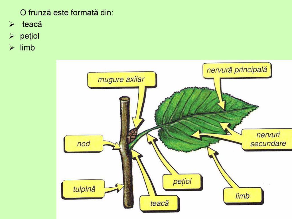 frunză - definiție și paradigmă | dexonline